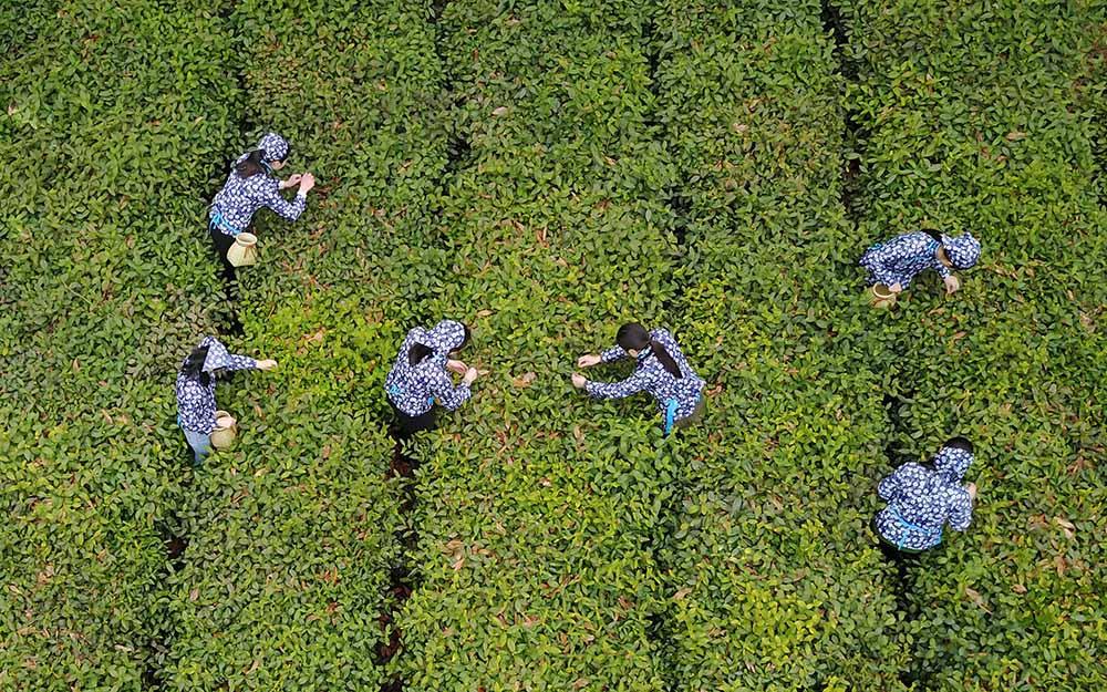 """11月27日,联合国大会宣布每年5月21日为""""国际茶日"""""""